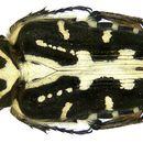 Image of <i>Taeniodera zebraea</i> Fairmaire 1893