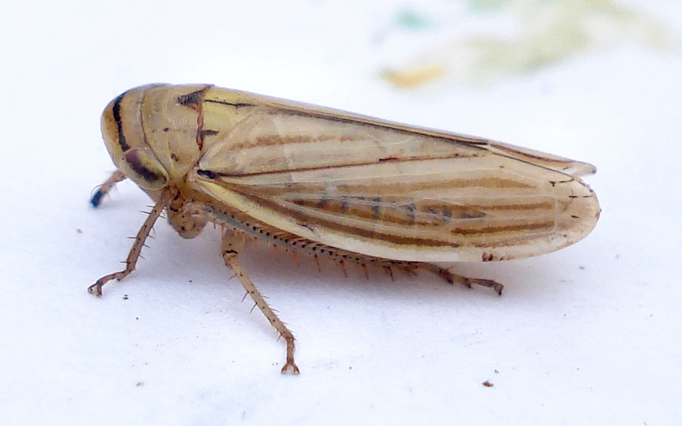 Image of Silver leafhopper