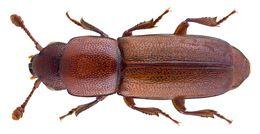 Image of <i>Pityophagus ferrugineus</i> (Linnaeus 1758) Linnaeus 1758