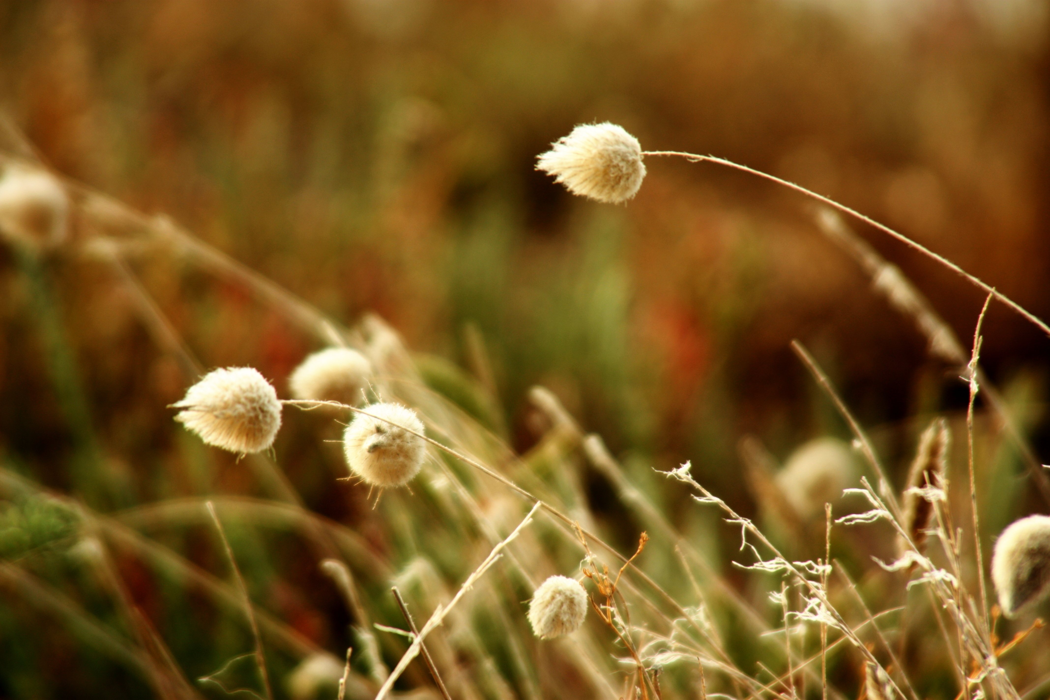 Image of harestail grass