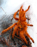 Image of Orange Baboon Tarantula