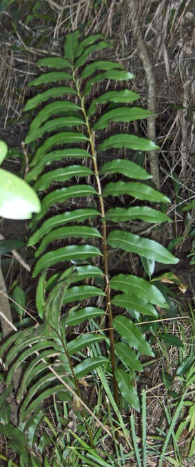 Image of inland leatherfern
