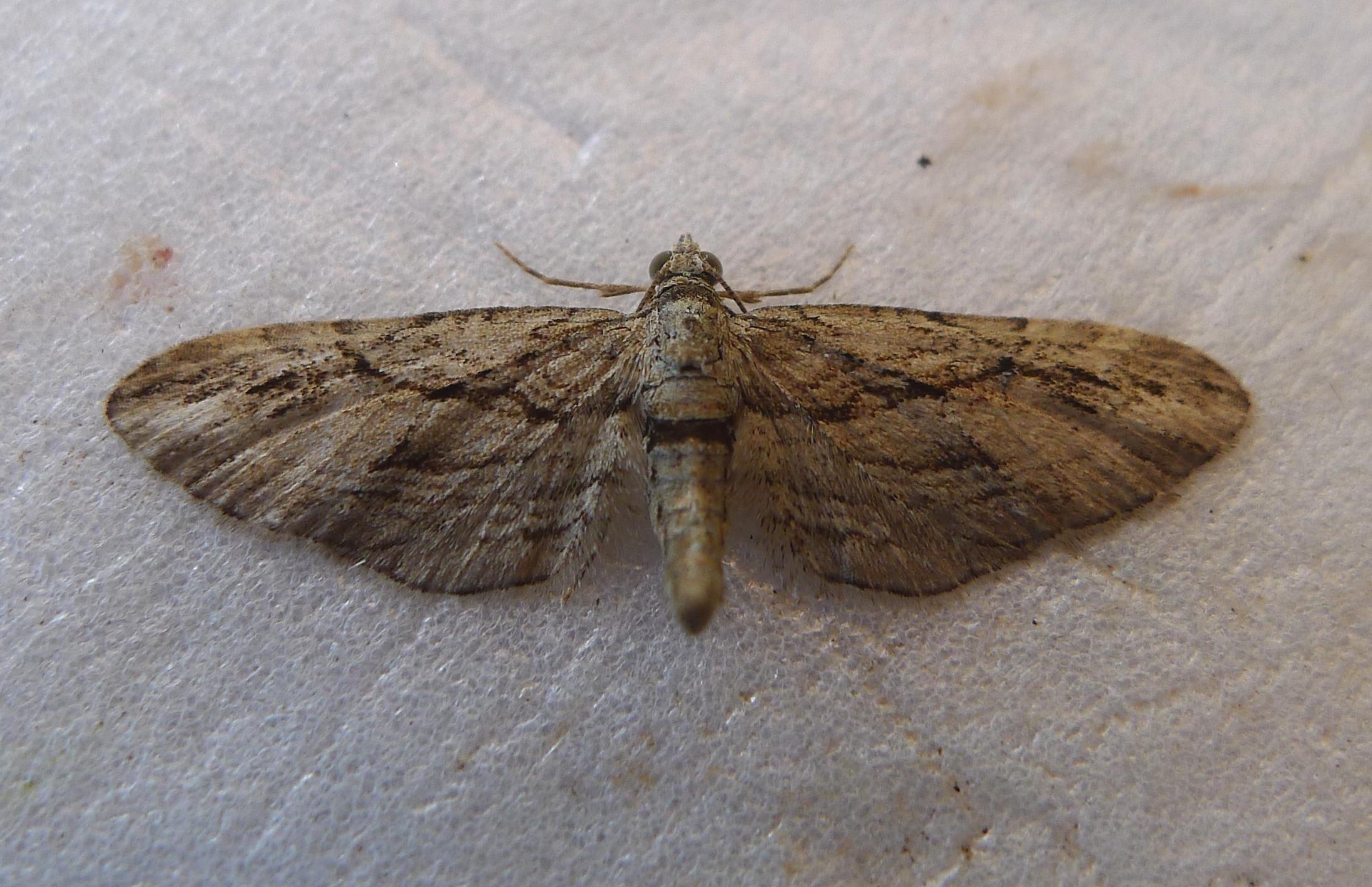 Image of <i>Eupithecia pheoniceata</i>