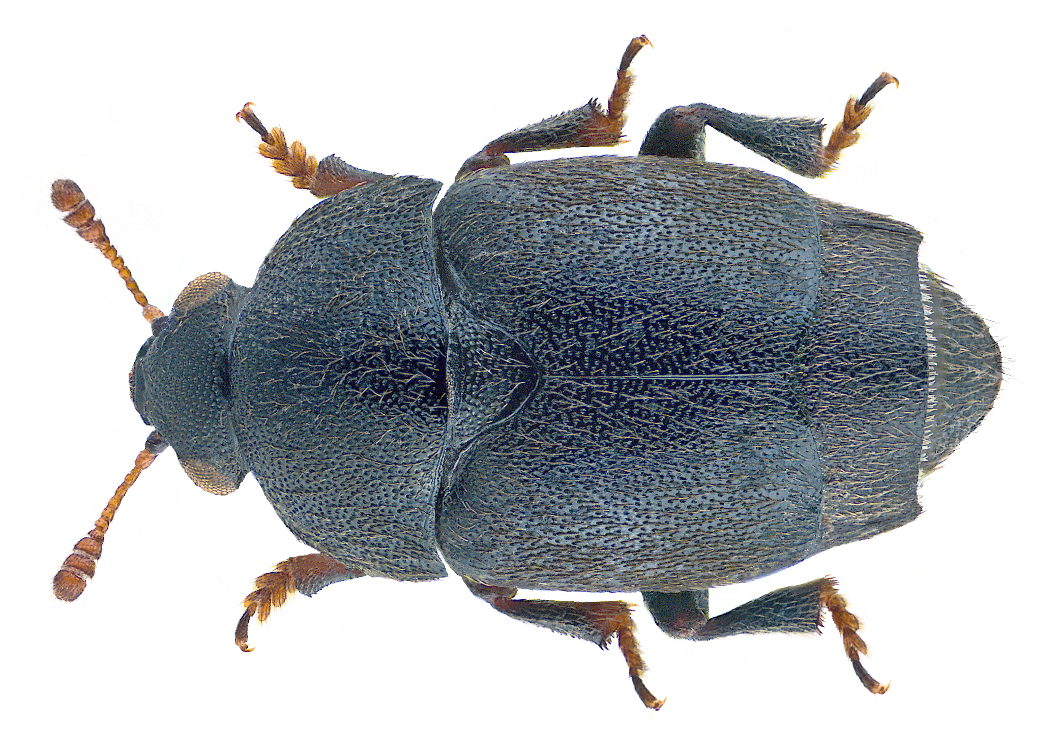 Image of <i>Brachypterolus linariae</i> (Stephens 1830) Stephens 1830