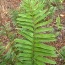 Image of toothed midsorus fern