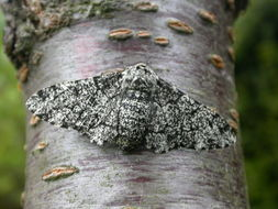 Image of peppered moth