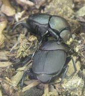 Image of Scarab beetle