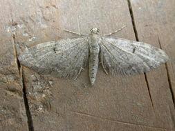 Image of <i>Eupithecia indigata</i> Hübner