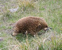 Image of Tasmanian Echidna