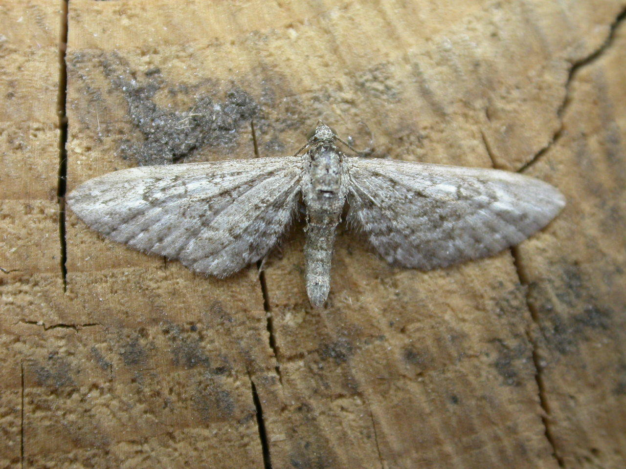 Image of Narrow-winged Pug