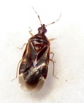 Image of <i>Loricula pselaphiformis</i> Curtis 1833