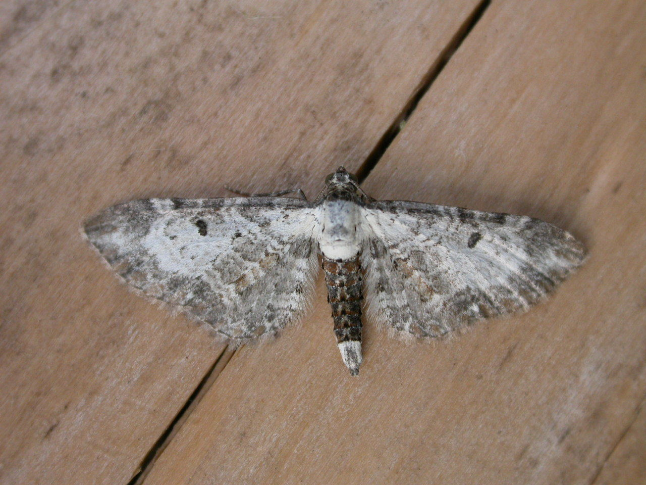 Image of Bordered Pug