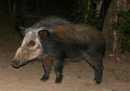 Image of bushpig