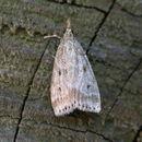 Image of <i>Witlesia pallida</i> Curtis 1827