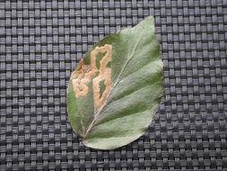 Image of <i>Stigmella hemargyrella</i> (Kollar 1832) Gerasimov 1952