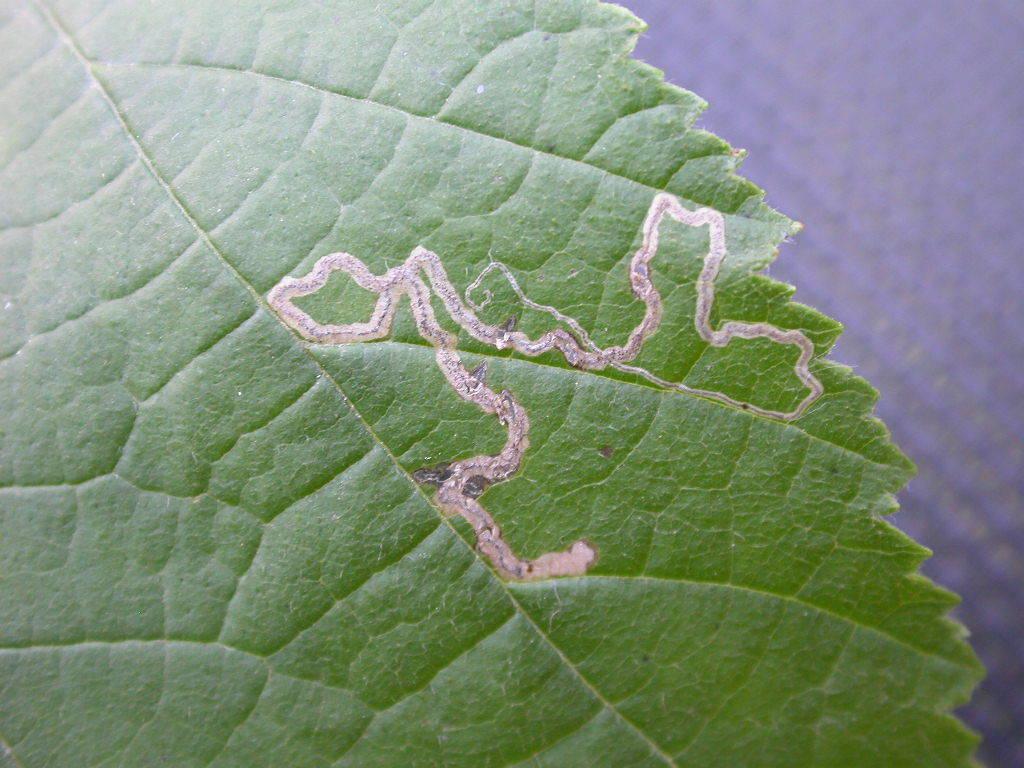 Image of <i>Stigmella microtheriella</i>