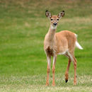 Image of White-tailed Deer