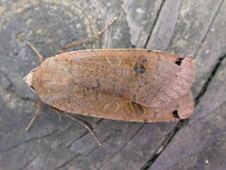 Image of Large Yellow Underwing