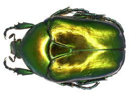 Image of <i>Protaetia aeruginosa</i> (Linnaeus 1767) Linnaeus 1767