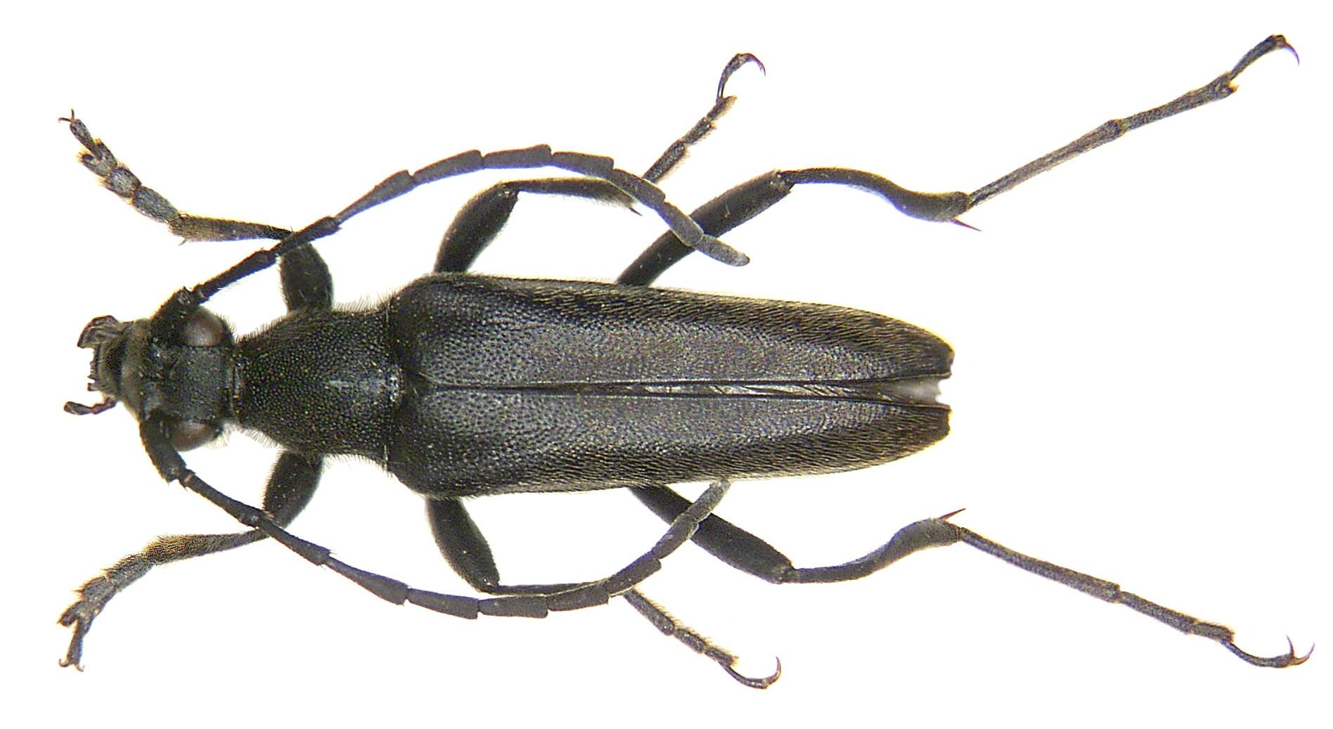 Image of <i>Leptura aethiops</i> Poda 1761