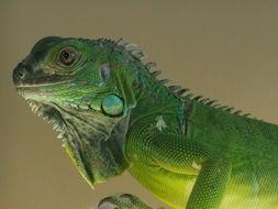 Image of Green iguana