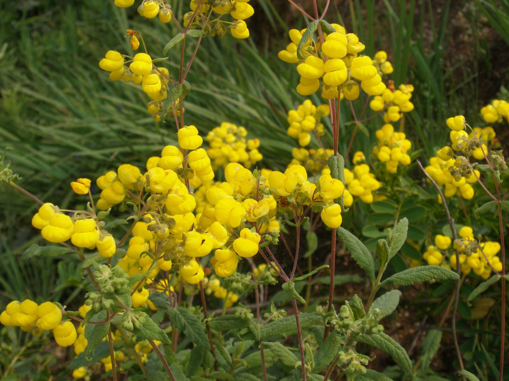 Image of <i>Calceolaria integrifolia</i> Murr.