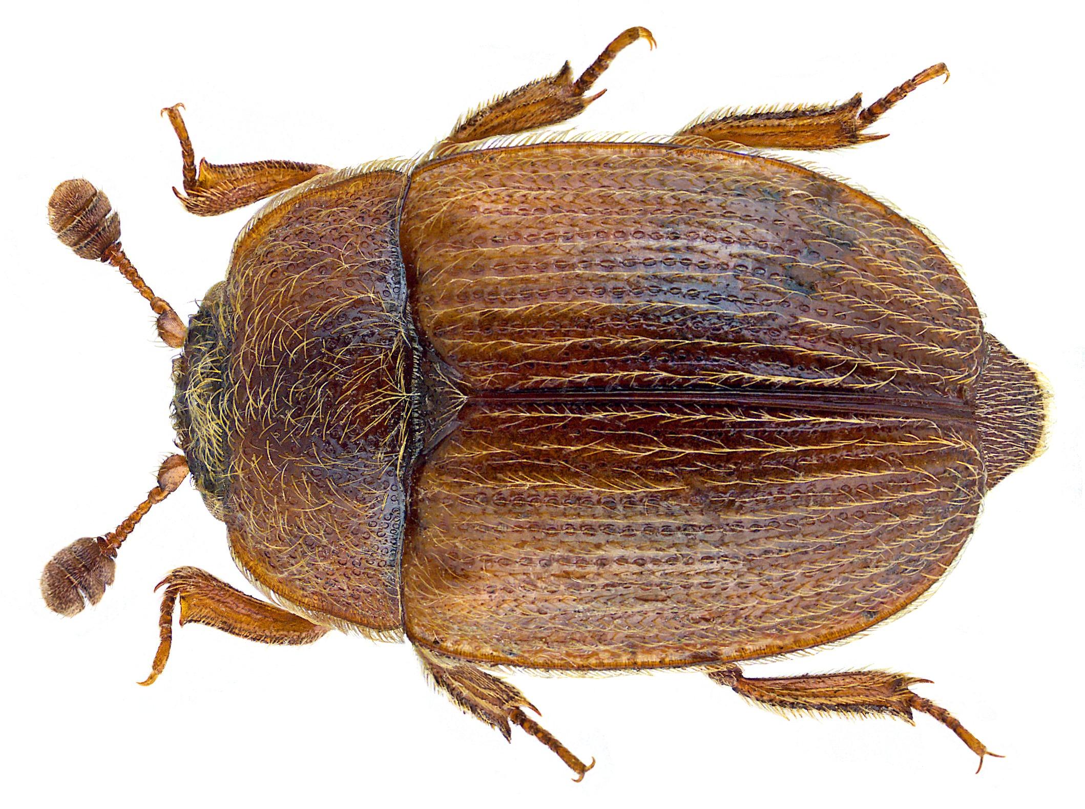Image of <i>Pocadius ferrugineus</i> (Fabricius 1775) Fabricius 1775