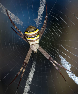 Image of St Andrews Cross Spider