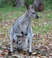Image of Bennett's Wallaby