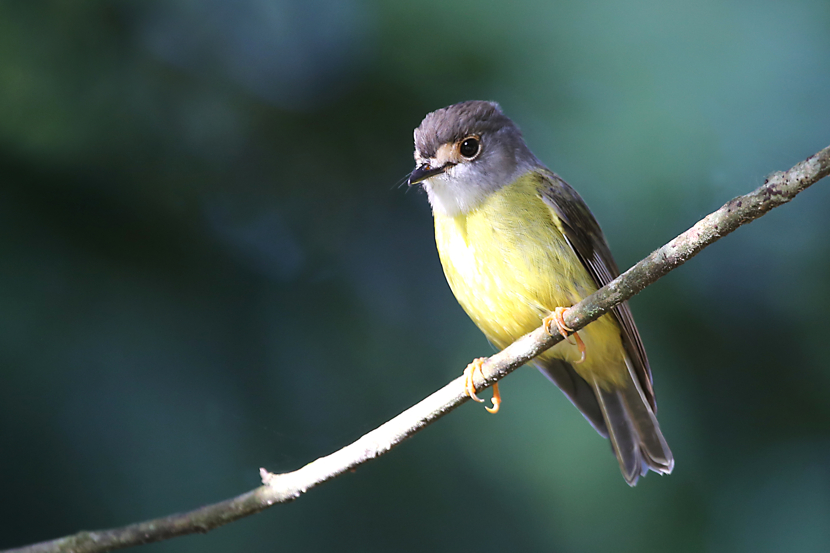 Image of Pale-yellow Robin