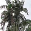 Image of Bamboo Palm