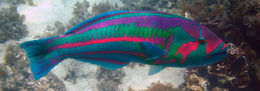 Image of Parrotfish