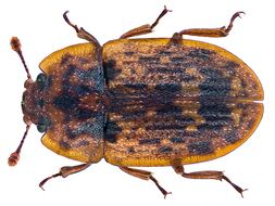 Image of <i>Soronia grisea</i> (Linnaeus 1758)