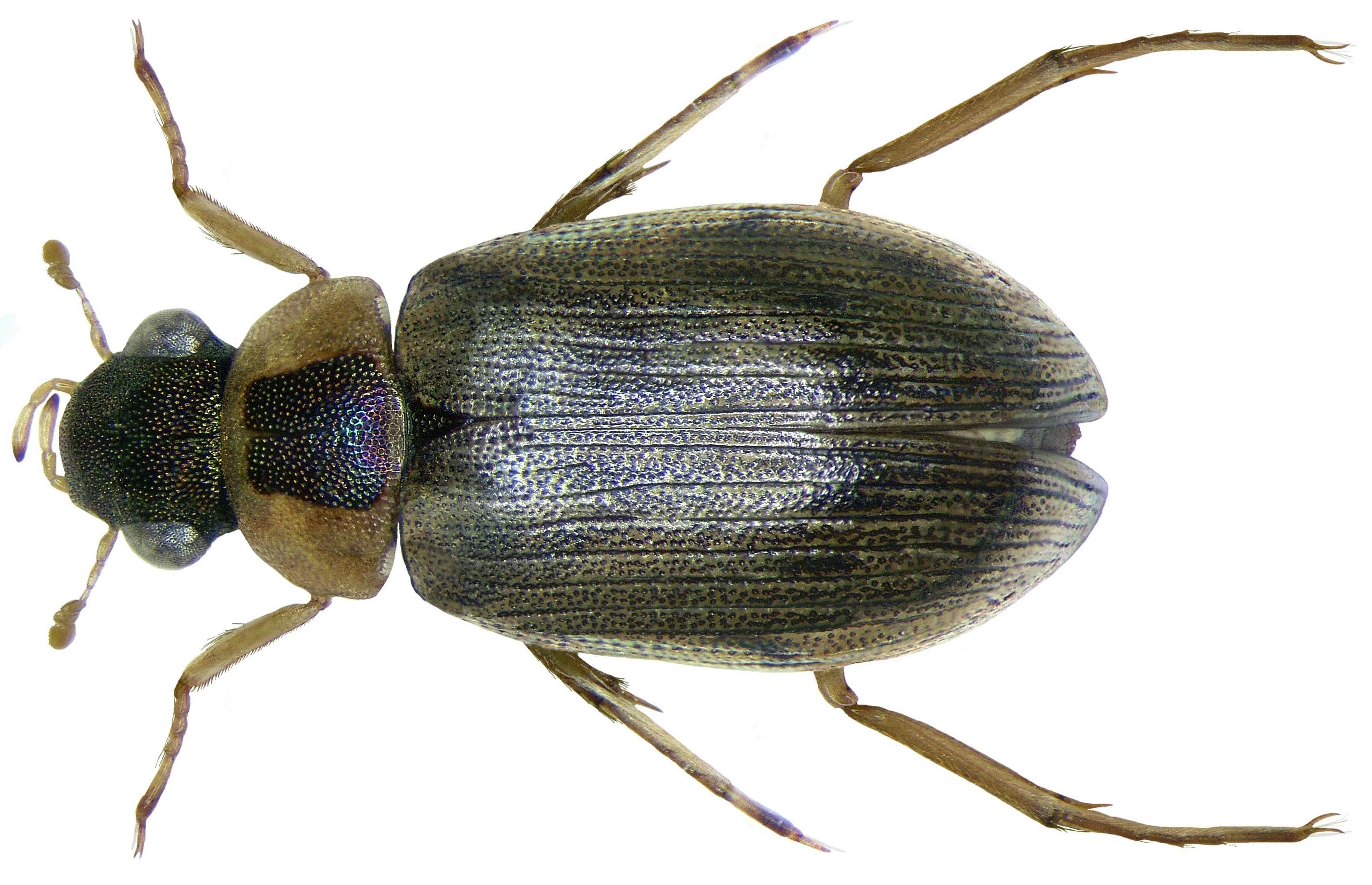 Image of <i><i>Berosus</i></i> (Berosus) <i>affinis</i> Brulle 1835