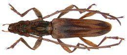 Image of <i>Dymasius amictus</i>