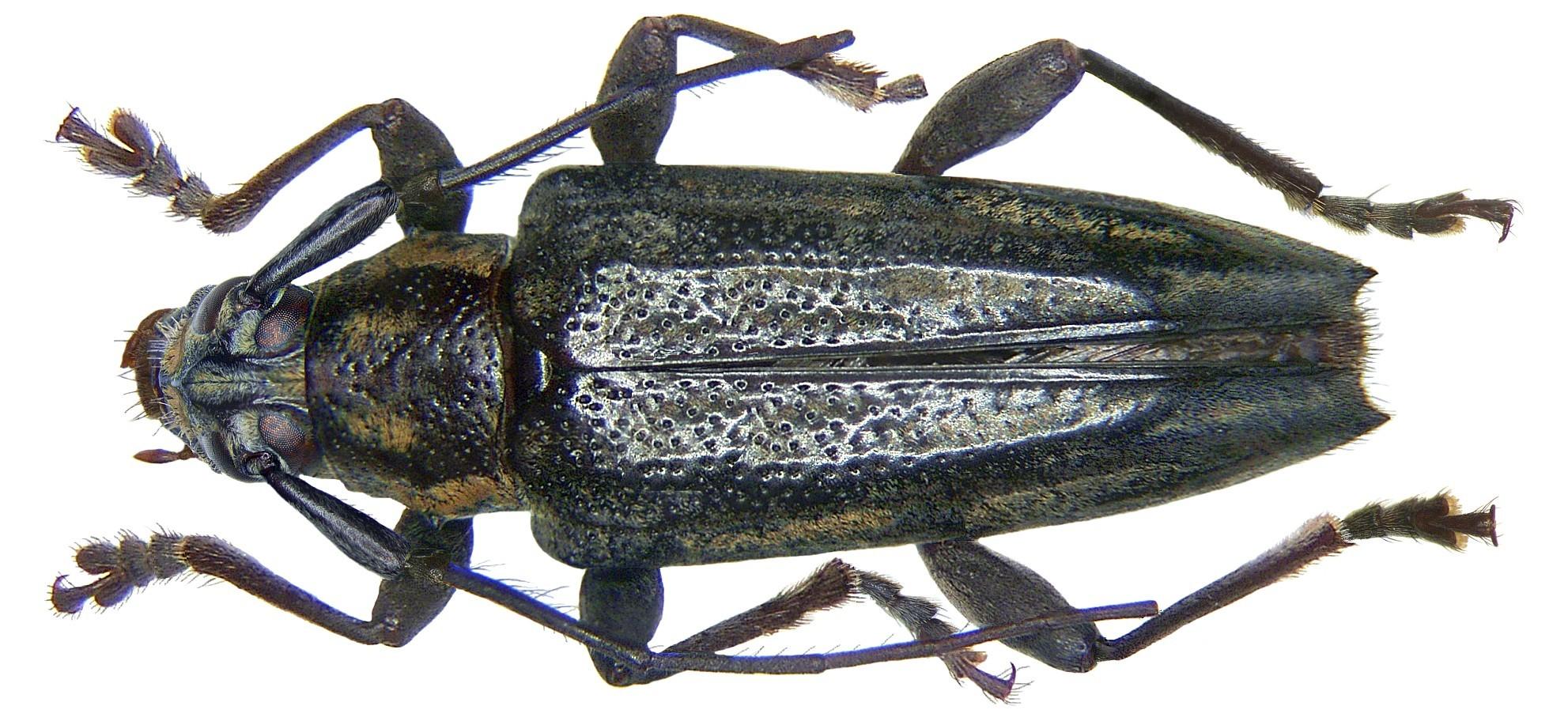 Image of <i>Trigonoptera amboinica</i> Breuning 1968