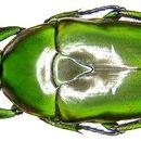 Image of <i>Tmesorrhina alpestris bafutensis</i> Darge 1988