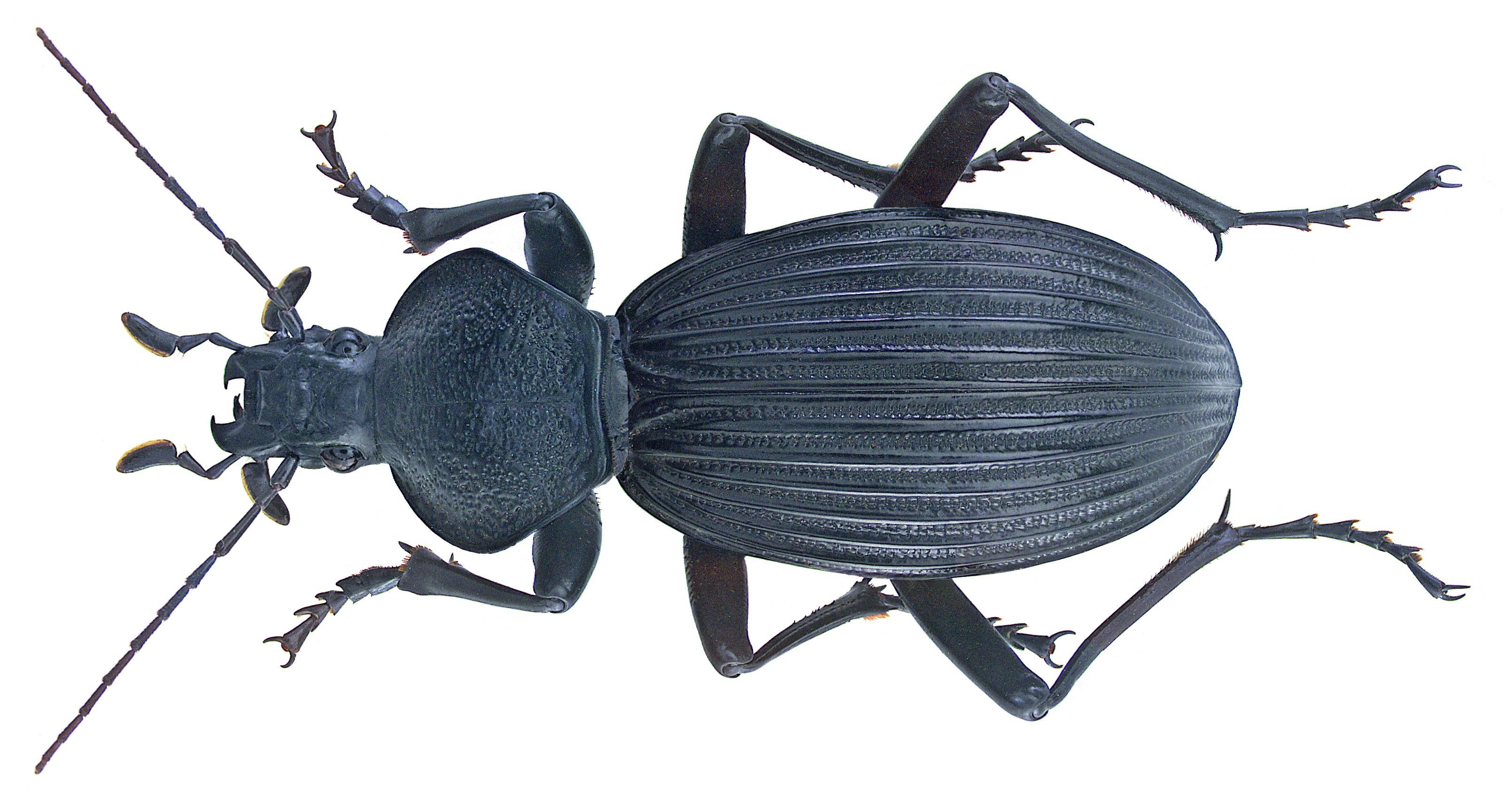 Image of <i>Tefflus meyerlei hacquardi</i> Chaudoir 1883