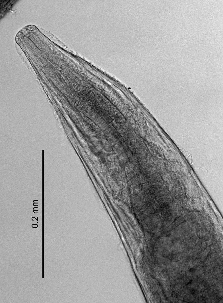 Image of <i>Rhabdias esculentarum</i>