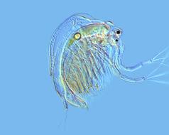 Image of jelly waterflea