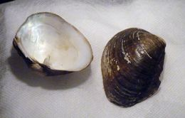 Image of Duck Mussel