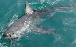 Image of Great White Shark