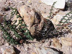 Image of trifoliate cliff brake