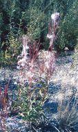 Image of <i>Hieracium canadense</i>