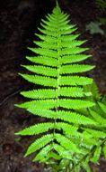 Image of <i>Thelypteris noveborancensis</i>