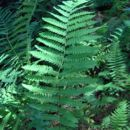Image of interrupted fern