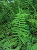 Image of <i>Thelypteris palustris</i>