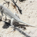 Image of Lesser Earless Lizard