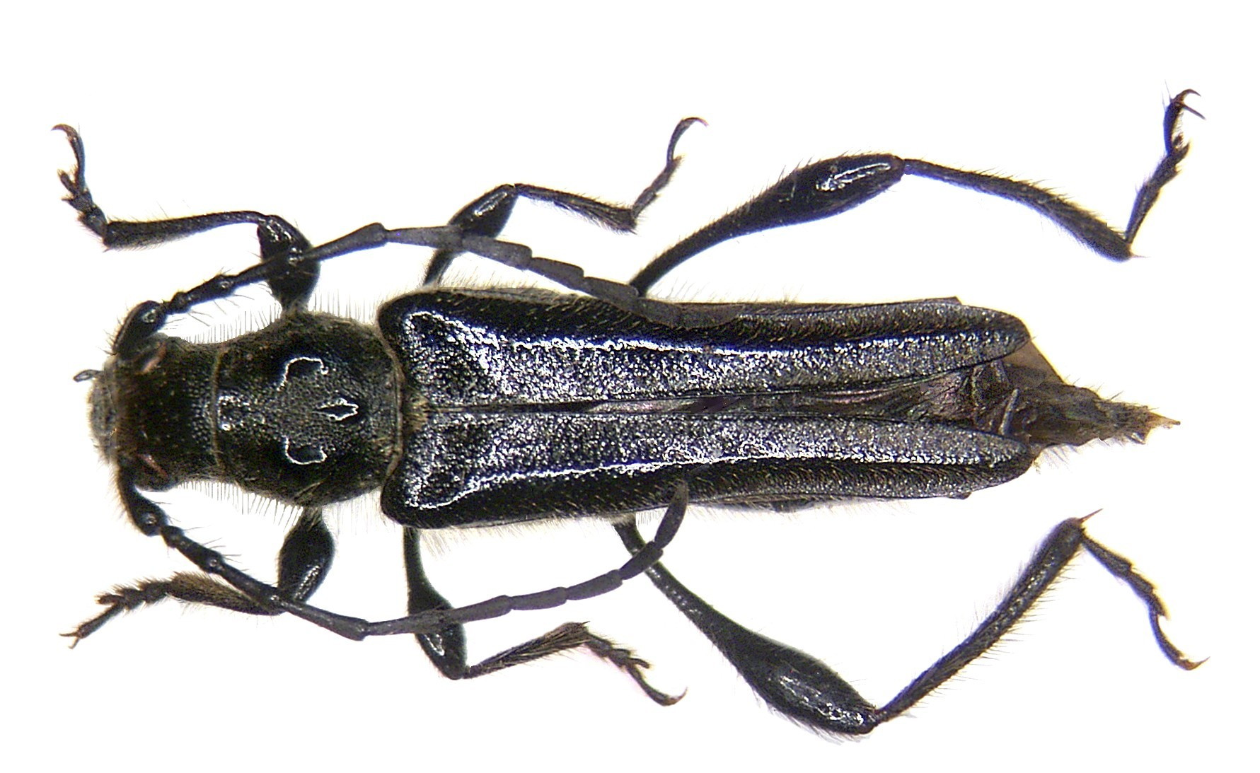 Image of <i>Stenopterus ater</i> (Linné 1767)