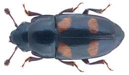 Image of <i>Glischrochilus hortensis</i> (Geoffroy ex Fourcroy 1785) Geoffroy ex Fourcroy 1785